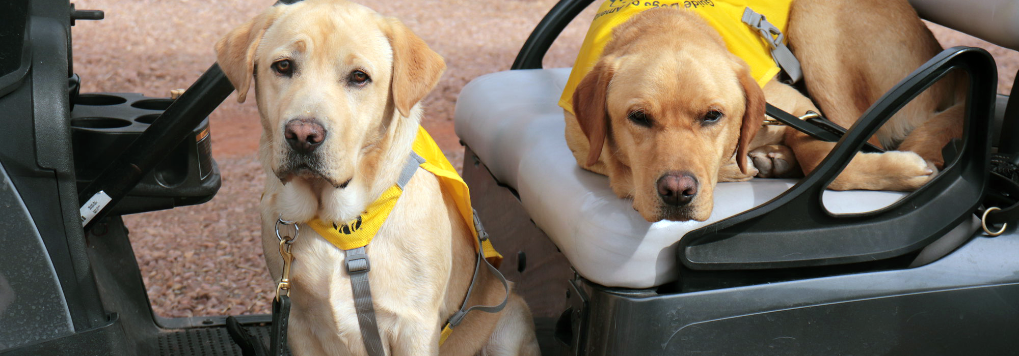 2 yellow labs, training vest, golf cart