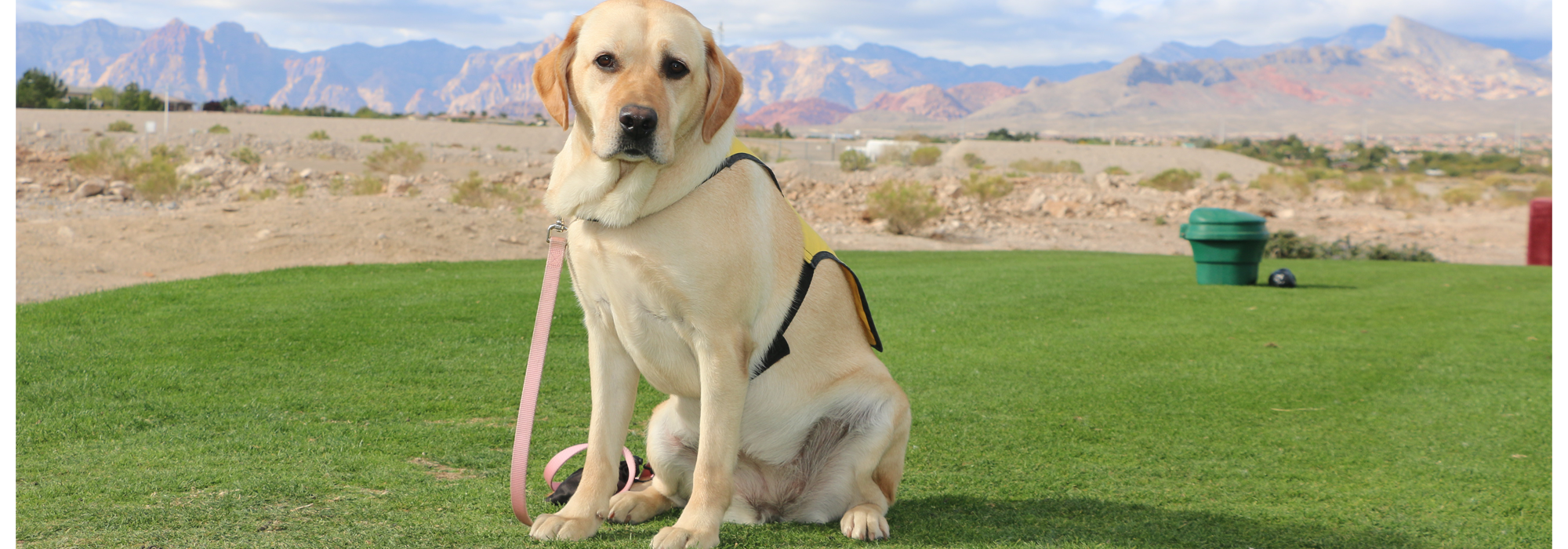 dog in training, yellow lab, golf course, las vegas